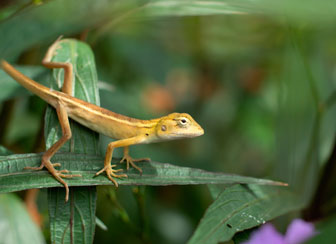 Long Tailed Lizard