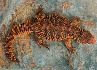 Uromastyx Spiny Tailed Lizard