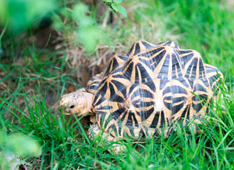 Indian Star Tortoise