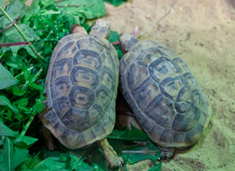 Spur Thighed Tortoises
