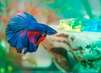 Blue Betta Siamese Fighting Fish